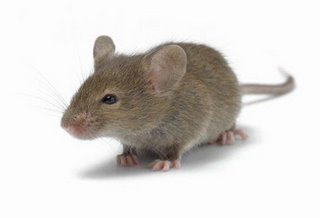tikus.jpg